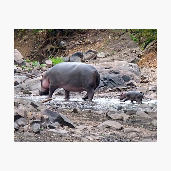 New born hippo Photographic Print