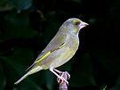 Female greenfinch by Peter Wiggerman