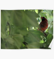 Cardinal in Maple Tree Poster