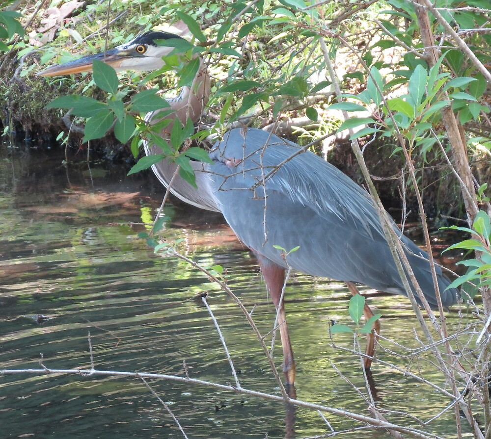 Great Blue Heron  by Alex Call