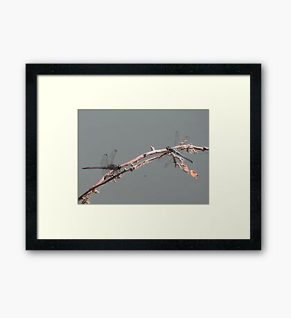 Double Dragons Framed Print