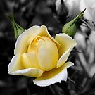 The Yellow Friendship Rose by Avril Harris