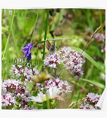 Northern brown Argus butterfly Poster