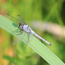 Dragon Fly on a Reed by theartguy