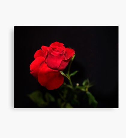A single Rose can be my garden... Canvas Print