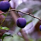 Plums by Nicole W.