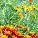Marigolds by Veronica Schultz
