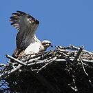 New Osprey Chick 2 by byronbackyard