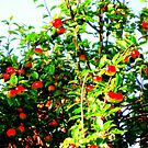 Apple tree by Pauli Hyvönen