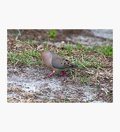 BackYard Dove Photographic Print