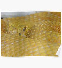 Albino Rattlesnake Poster