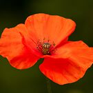 Single Poppy Flower by Neil Clarke