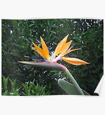 Bird of Paradise Flower Poster