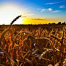 Across,the barley fields.. by buddybetsy