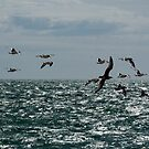 Flight of Oystercatchers by mikebov