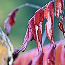 Red leafed by Spencer Backman