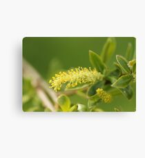 Willow blossem Canvas Print