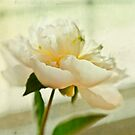 Peony by Suzanne Cummings