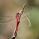 Red Dragon Fly by theartguy