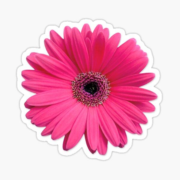 pink gerbera gerber daisy flower stickers Sticker