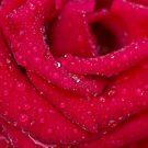 Luscious Rose by Lynn Gedeon
