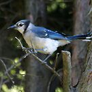 The Elusive Bluejay v. 3 by Barry W  King