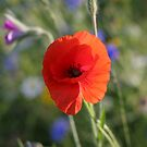 The Poppy  by Sam Neal