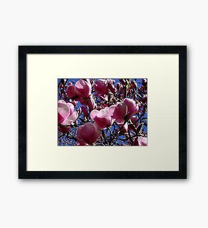 San Jose - Magnolia Soulangeana Framed Print