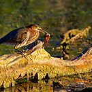 Frog Legs Anyone ? by John Absher