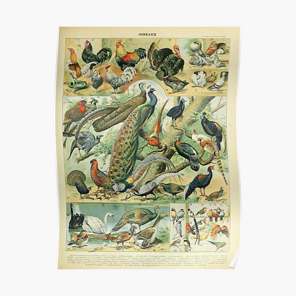 Vintage Birds Poster Poster