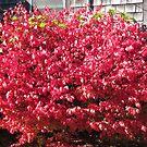 Flaming Bush by Choux