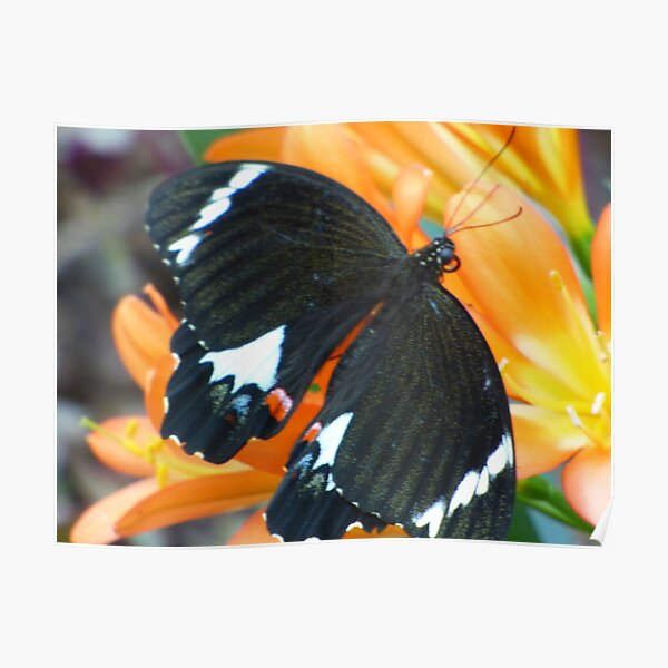 Butterfly on Clivea Flower  Poster