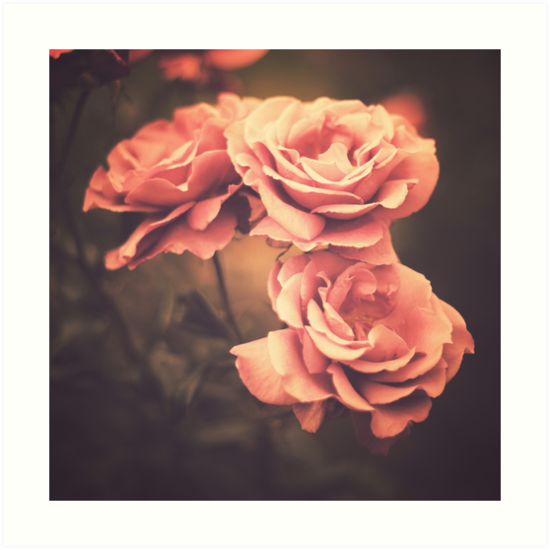 Three Pink Roses Vintage Flower Photography Art Prints By