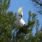At Last! Caught on camera, our patch Adelaide Hills. S.A. by Rita Blom