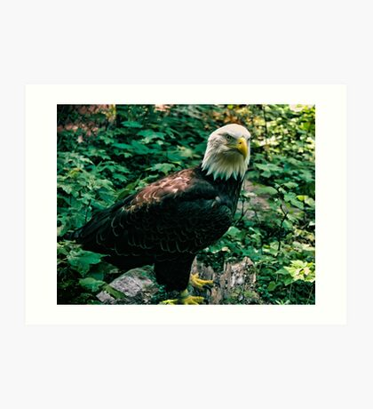 Majestic Bald Eagle Art Print
