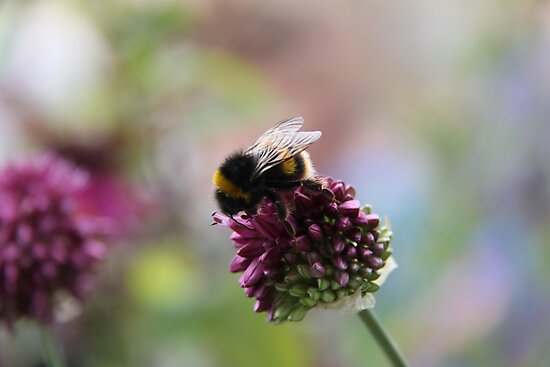 Bumble Bee by Harrietville