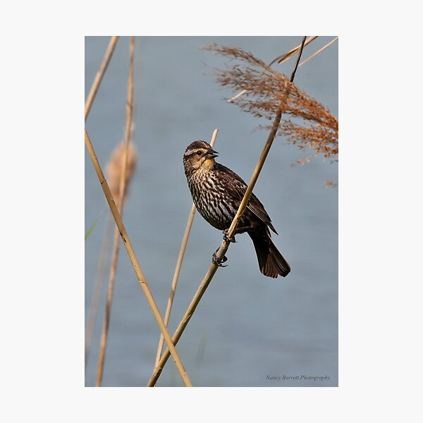 Red-winged Blackbird Photographic Print