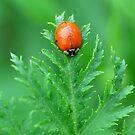 Ladybird by Nancy Barrett