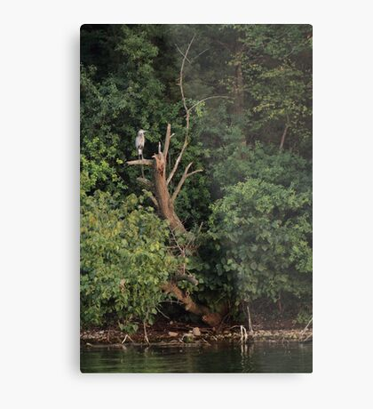Great Blue Heron in Tree Metal Print