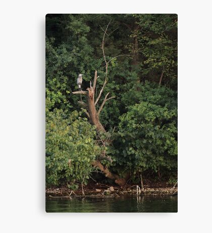 Great Blue Heron in Tree Canvas Print