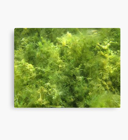 Underwater Vegetation 515 Canvas Print