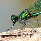 Green dragonfly by Neutro