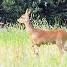 Roe Deer ~ Capreolus capreolus by Clive