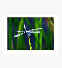 Blue Skimmer  Art Print