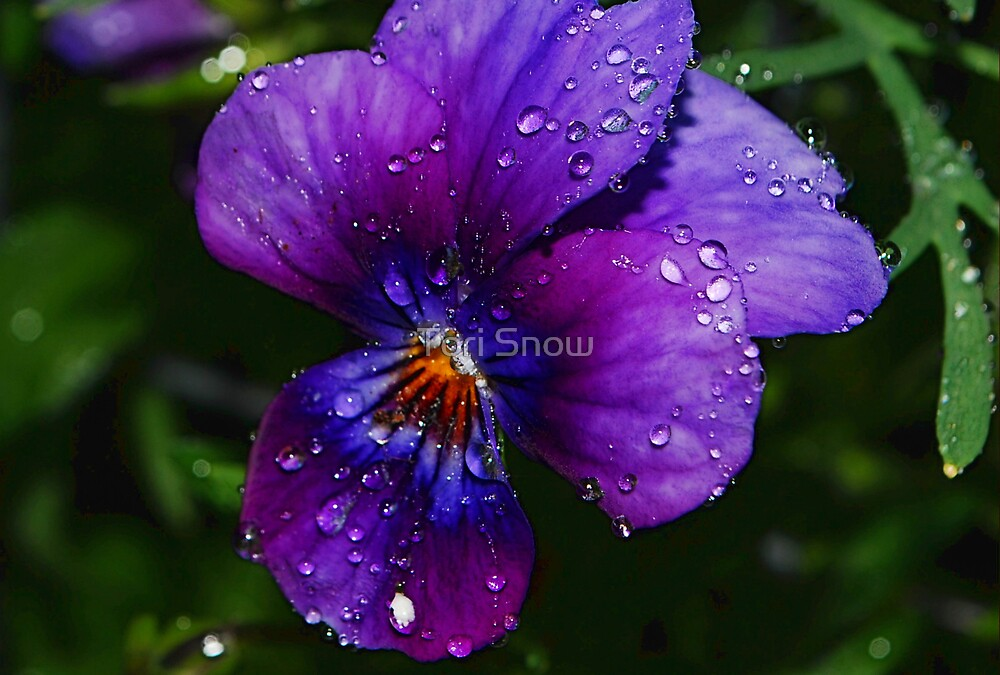 Pretty Pansy Morning by Tori Snow