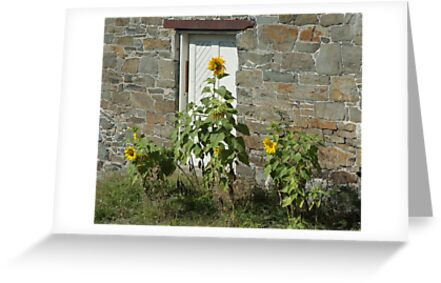 Sunflowers and the Old Stone Wall by Barry Doherty