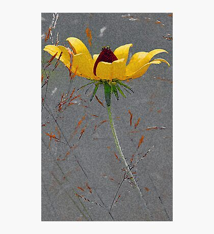 Black-Eyed-Susan -- Meadow Grass Photographic Print