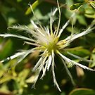 Clematis in the Wild (3) by kalaryder