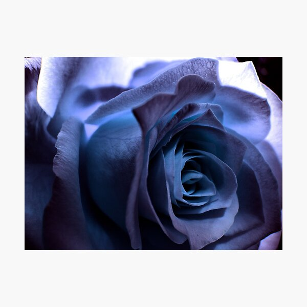 Rose3 Photographic Print