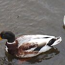 Four Ducks in a Line by JenaHall
